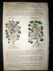 Gerards Herbal 1633 Hand Col Botanical Print. Mallow & Hollyhock